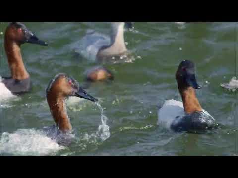 Необычный документальный фильм про уток)))