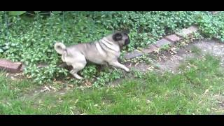 Pug Eats an Eighth of High Grade Weed thumbnail