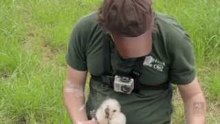 The Somerset Barn Owl Project Ringing