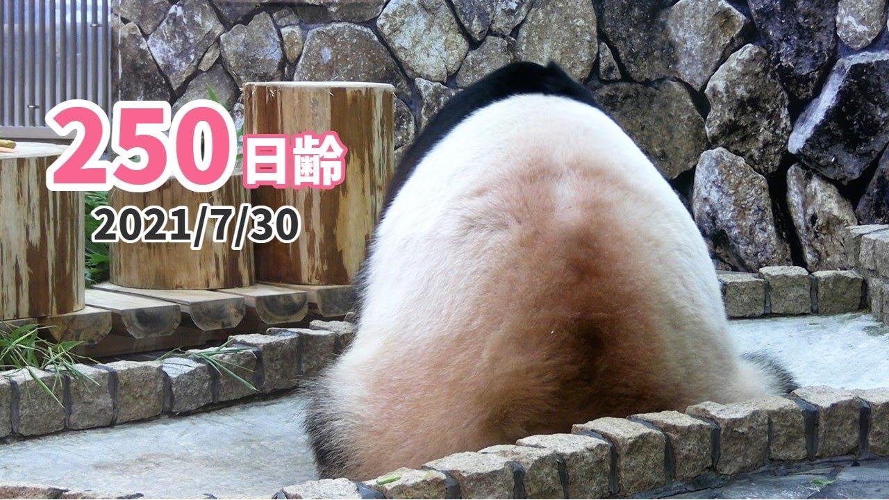 【パンダの赤ちゃん(楓浜)】母の背中が大きすぎて…(250日齢)