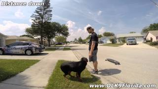 "10mo Rottweiler ""lexi"" Obedience Transformation! Off Leash K9 Training Central Florida"