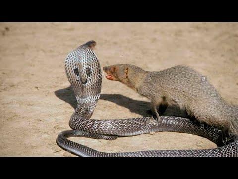 SCHLANGE VS MUNGO   10 Epische Schlangenangriffe auf Tiere