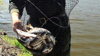 Весенняя рыбалка на Оке Наконец попали Плотвичка на пшеницу
