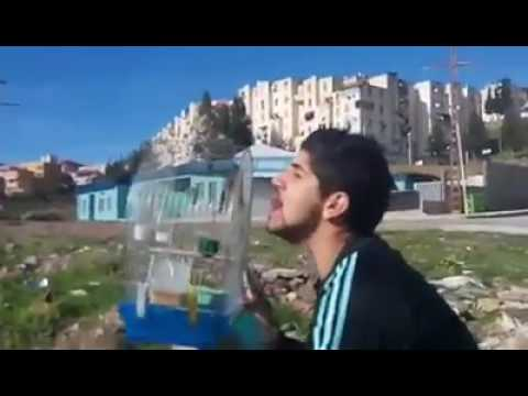 Meli Hassoun Khalwi Chant Chardonneret Jilguero Goldfinch ~Karim~