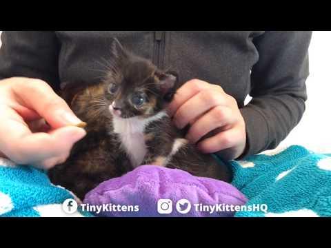 Aura the Cleft Palate Kitten eats her first kibble!  TinyKittens.com
