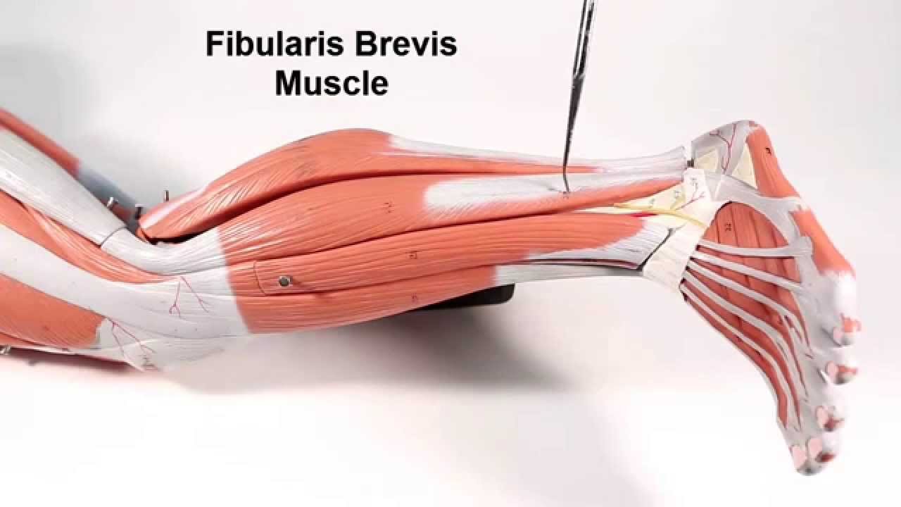 Muscles That Move the Foot and Toes - YouTube