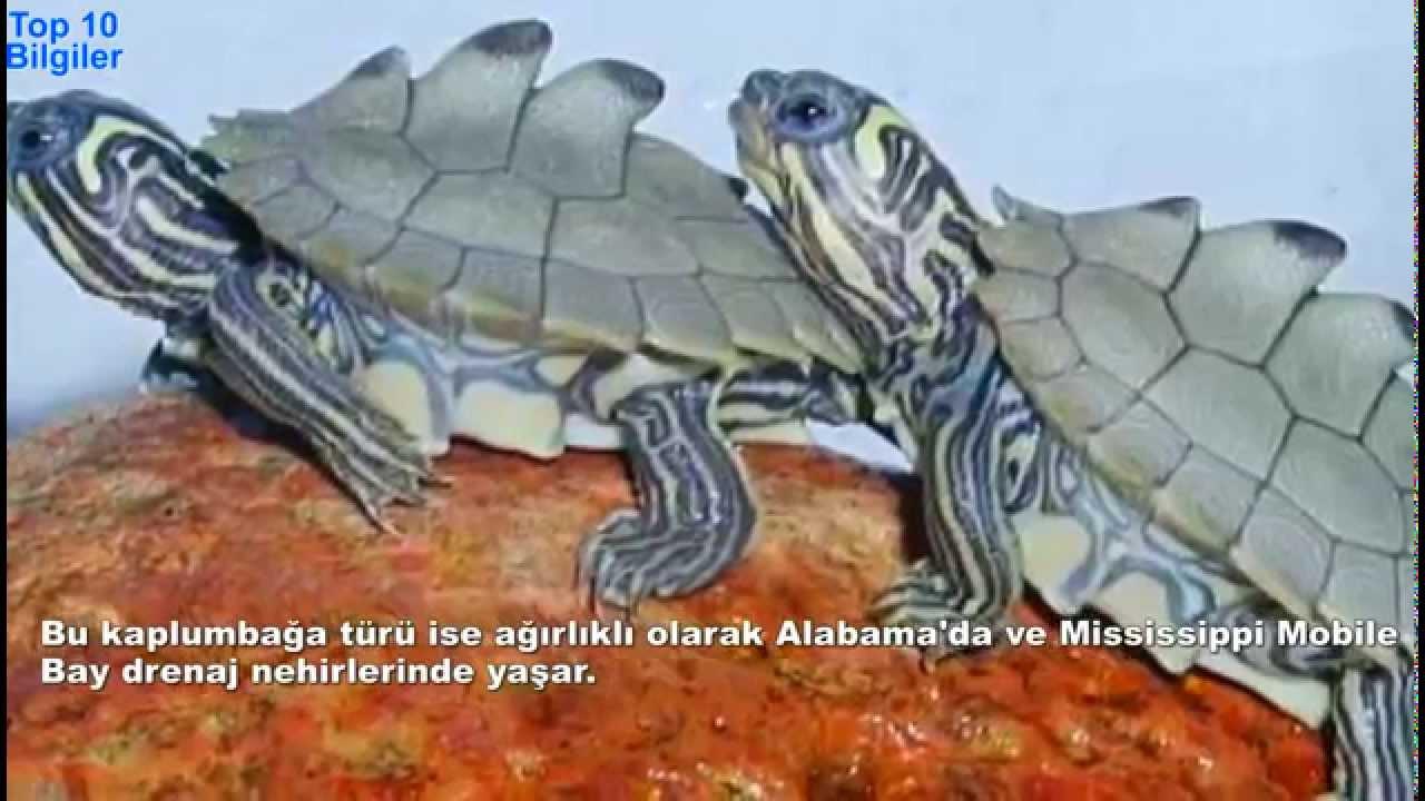 En Ilginç 10 Kaplumbağa Türü Top 10 Bilgiler Youtube