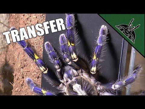 Poecilotheria metallica transfer - BEST ARBOREAL ENCLOSURE design