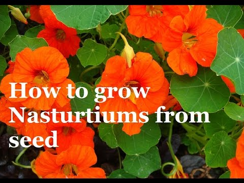 how-to-grow-nasturtuims-from-seed