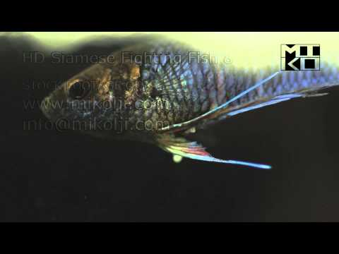 Siamese Fighting Fish HD Stock Video Footage 8