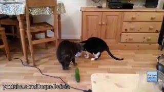 Почему коты боятся огурцов? Подборка приколов.