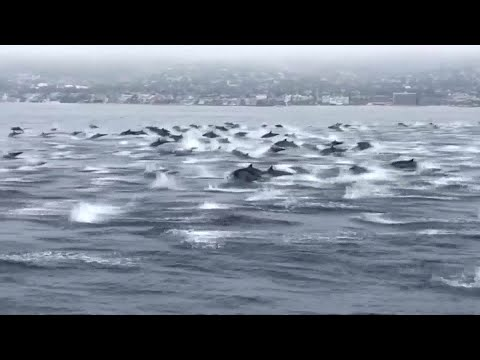 Muss - Massive Pod Of Dolphins Following A Boat In California! Too Cool!