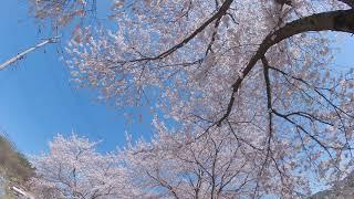 보령 주산 벚꽃길6
