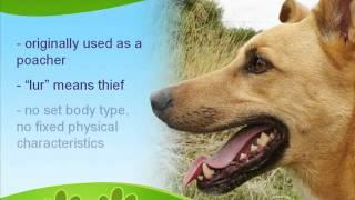 The Lurcher Dog