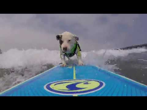 Catching a wave at the 2017 Imperial Beach Surf Dog competition. Surf Dog Events.