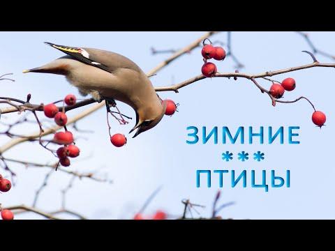 Какие птицы остаются зимовать?