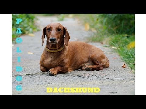 DACHSHUND   (Top 10 interesting facts)