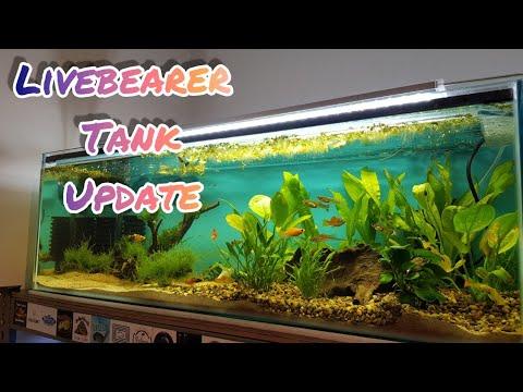 Livebearer Tank Featuring Guppies, Mollies & Swordtails