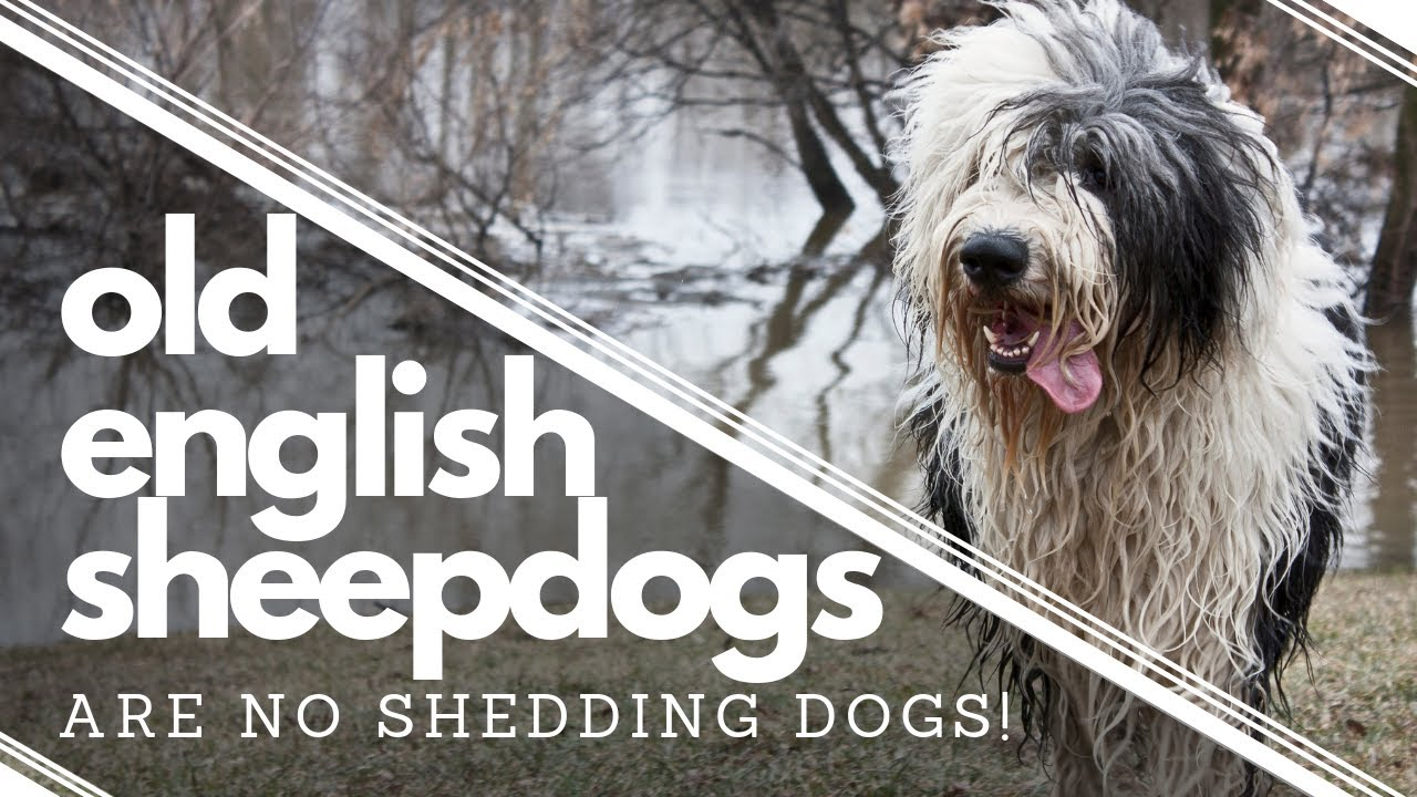 Wish We had Known BEFORE getting an Old English Sheepdog┃Do NOT Shed┃Ed&Mel
