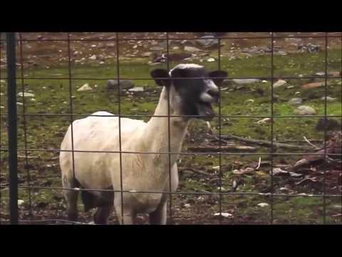Gunther ding ding dong goat remix