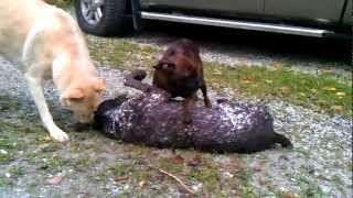 Boxer Fight A German Shorthaired Pointer