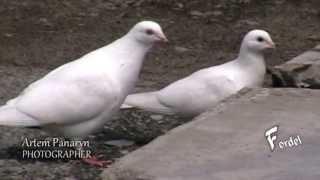белые дикие голуби,  White doves wild