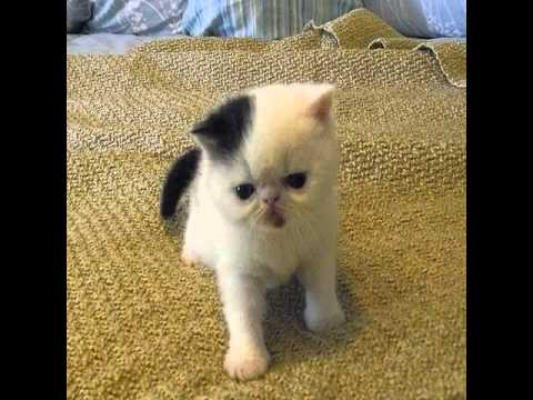exotic shorthair cats for sale in california