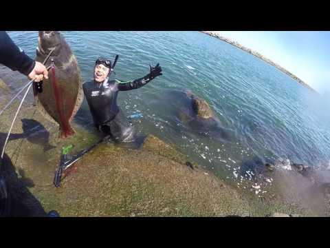 Sacando pez halibut con arpón