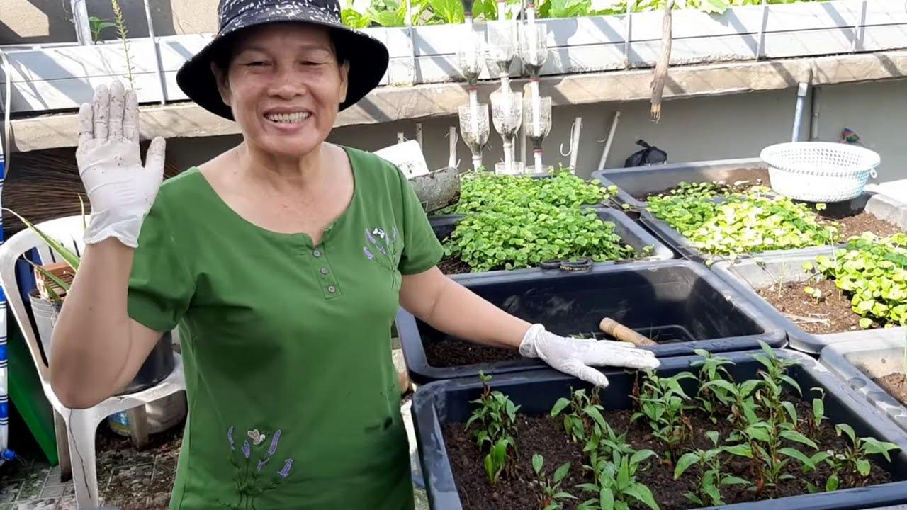 Hướng dẫn trồng Rau Răm bằng cọng , mua rau ngoài chợ về trồng , lên tốt | Khoa Hien 330