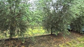 Georgia Farmer Begins Olive Production