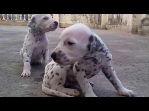 Cute dalmatian puppies.
