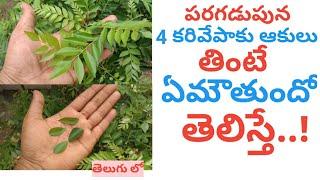పరగడుపున నాలుగు కరివేపాకు ఆకులు తింటే ఏమౌతుందో తెలిస్తే || About Curry Leaves