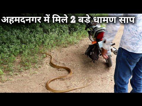 अहमदनगर में मिले 2 बडे धामण साप, Today rescue 2 indian rat snake from Ahmednagar, maharashtra