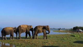 """Превью к фильму """"Картина маслом или почему слоны. Udawalawe. National Park. Sri Lanka."""""""