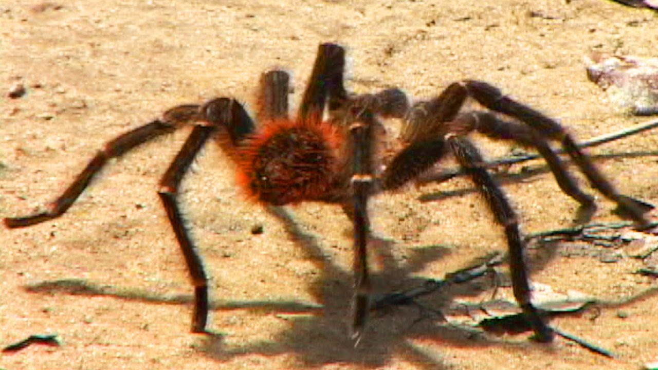 HUGE AMAZON SPIDER ATTACKS CAMERA