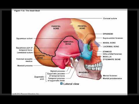 Axial Skeleton Skull Diagram Msd Ignition Digital 6a Anleitung Chapter 7 Module 1 And The Youtube