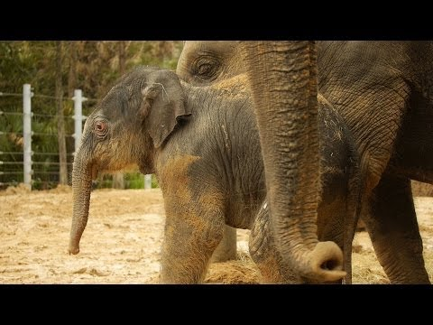 Thumbnail: Baby Elephant Duncan's First Time Outside