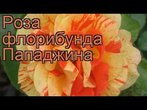 Роза флорибунда Пападжина (rose papadzhina) 🌿 Пападжина обзор: как сажать, саженцы розы Пападжина