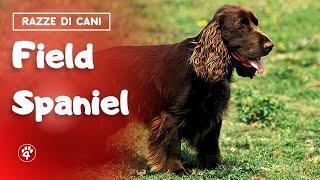 Field Spaniel: tutto quello che c'è da sapere