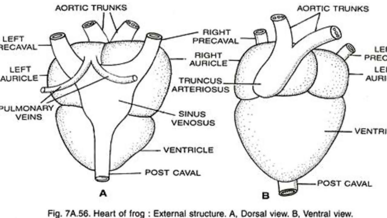 structure of heart of frog