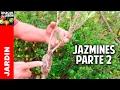 Cómo reproducir Jazmín o Gardenia por esquejes Parte 2 @cosasdeljardin