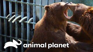 ¡Los osos tienen manicura! | El zoológico del Bronx | Animal Planet