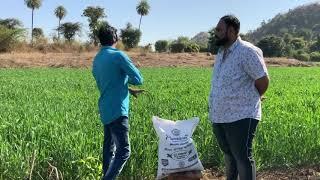 Interview of Wheat Crop Growing Farmer by Premium Organic Fertilizer - Sun Agri Export