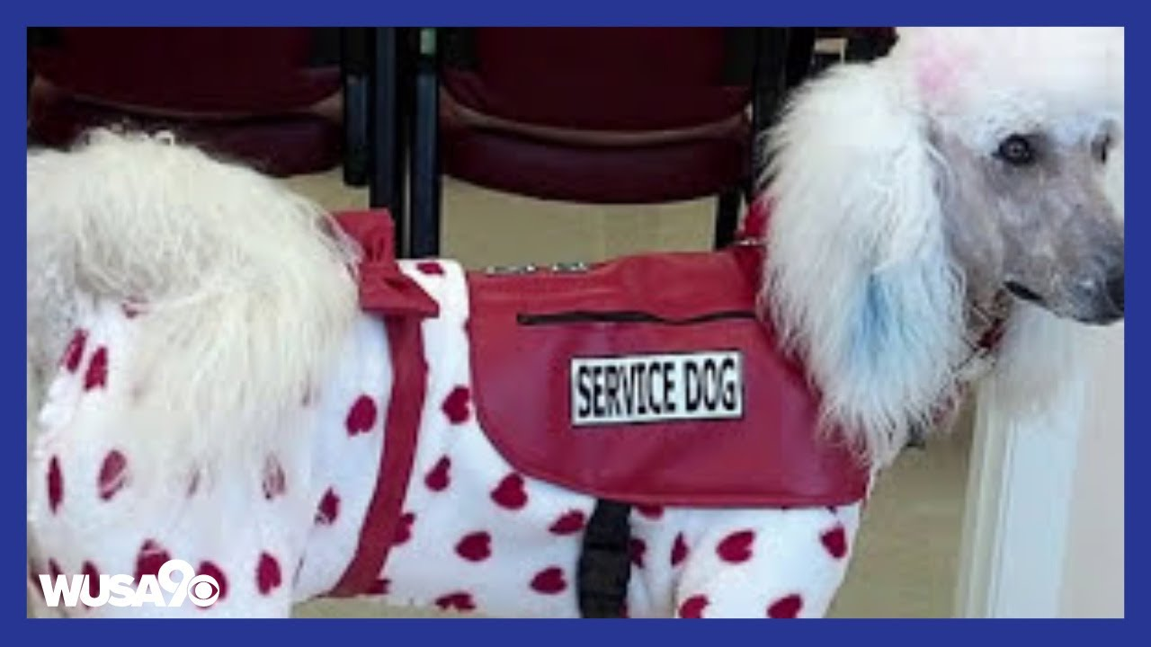Fake service dogs are becoming a problem youtube fake service dogs are becoming a problem 1betcityfo Images