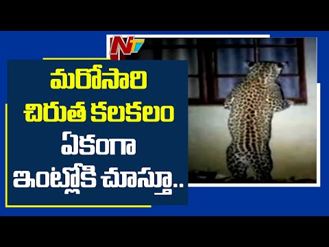 Hyderabad: రాజేంద్ర నగర్లోమరోసారి చిరుత కలకలం... ఈసారి ఏకంగా ఇంట్లోకి చూస్తూ | NTV