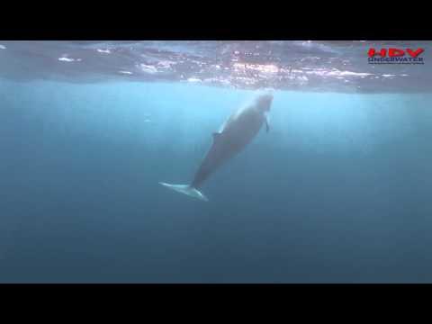 Minke Whales Great Barrier Reef Taka Dive