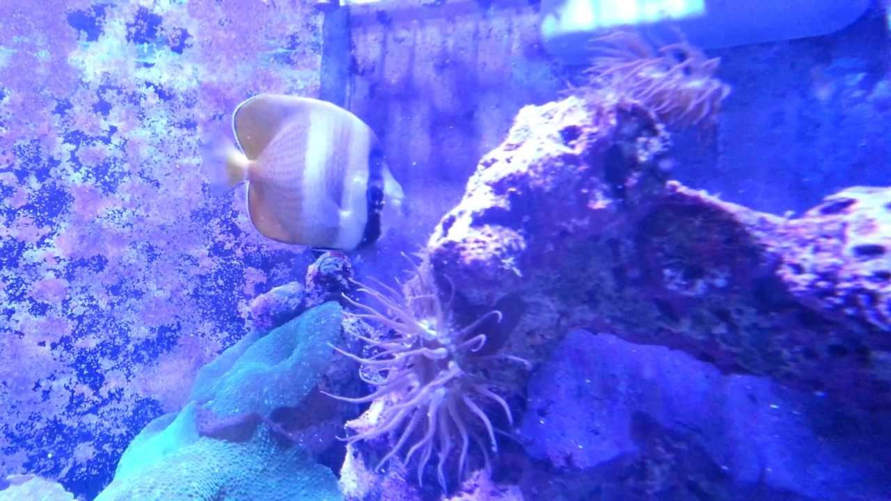 Klein 39 s butterflyfish destroys aiptasia youtube for Aiptasia eating fish