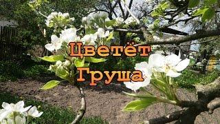 Весна. 1 Мая. Цветёт Груша, Вишня. Птицы Поют. Звуки Природы