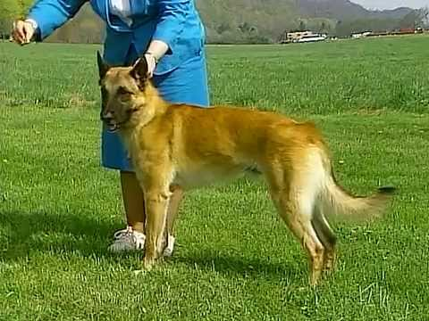 Belgian Malinois - AKC Dog Breed Series