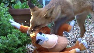 Fox Cub Plays with King Louis    ViralHog